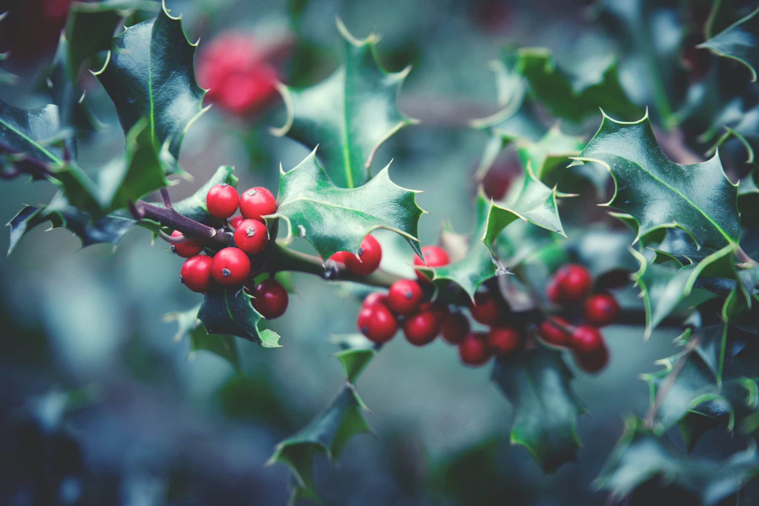 A holly tree with its signature prickly leaves and red berries.